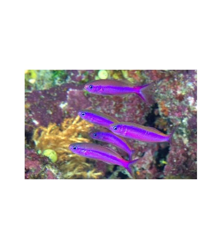Luzonichthys waitei