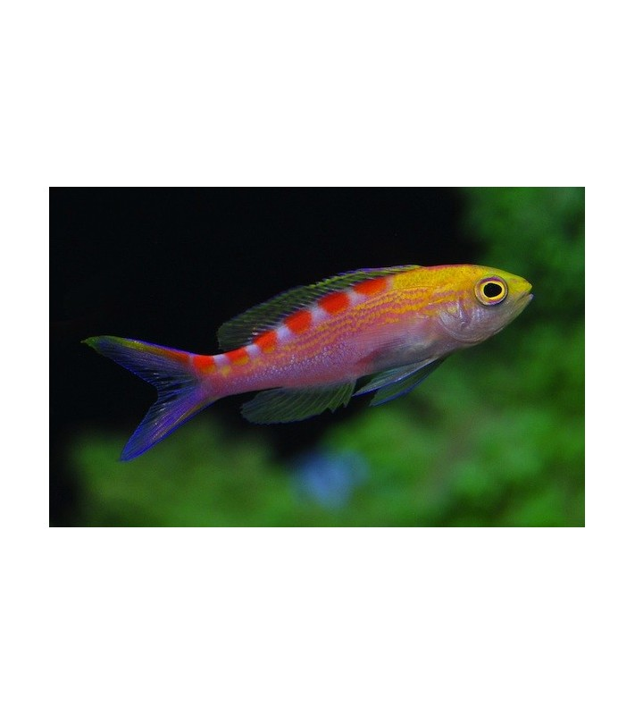 Pseudanthias flavoguttatus