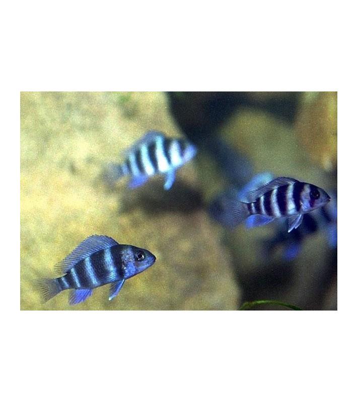 Cyphotilapia frontosa blue Zaire Moba