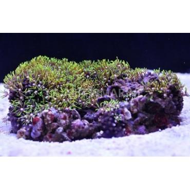 Briareum sp. green