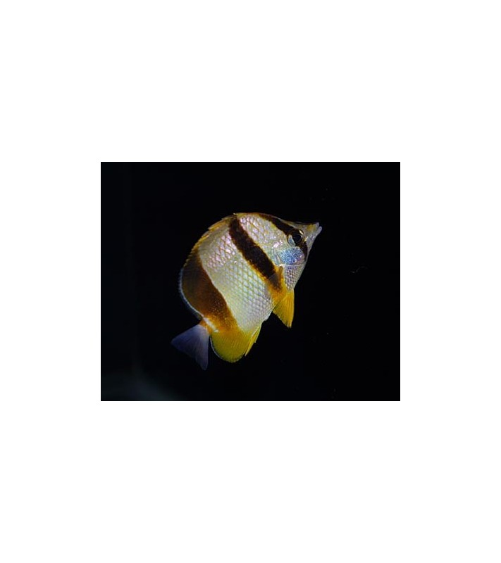 Chaetodon marleyi