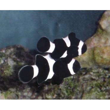 Amphiprion ocellaris Darwini Black