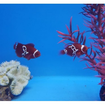Premnas biaculeatus Lightning maroon clownfish pair