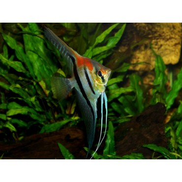Pterophyllum scalare Patawa red shoulder