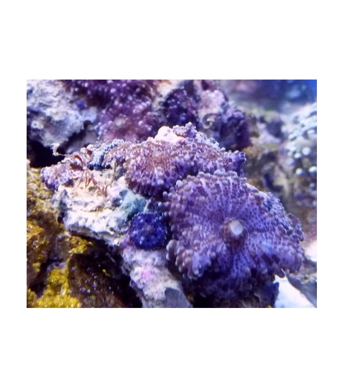 Rhodactis cf. purple