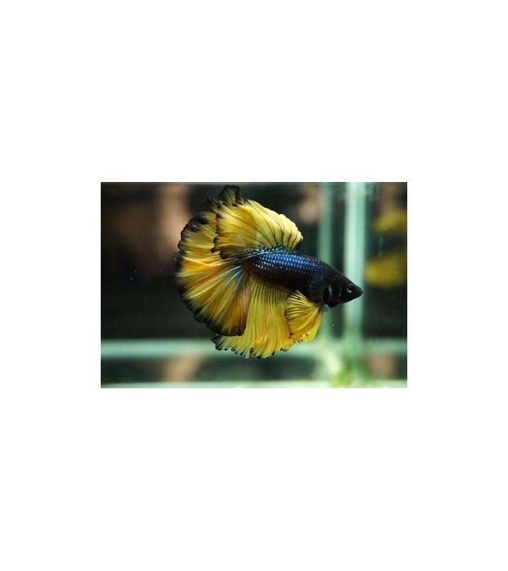 Betta splendens Blue Yellow Butterfly