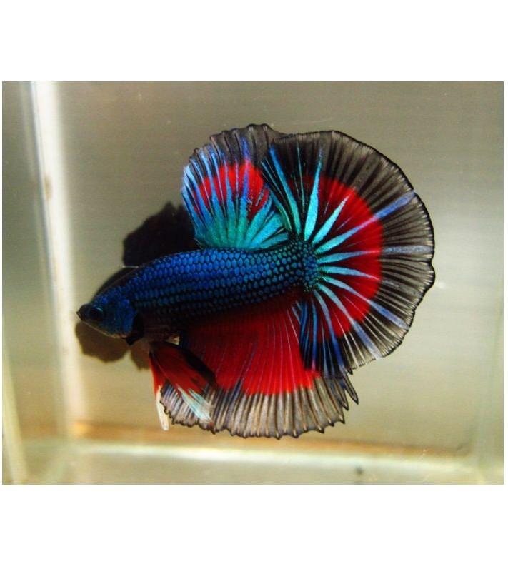 Betta splendens Blue Red Butterfly
