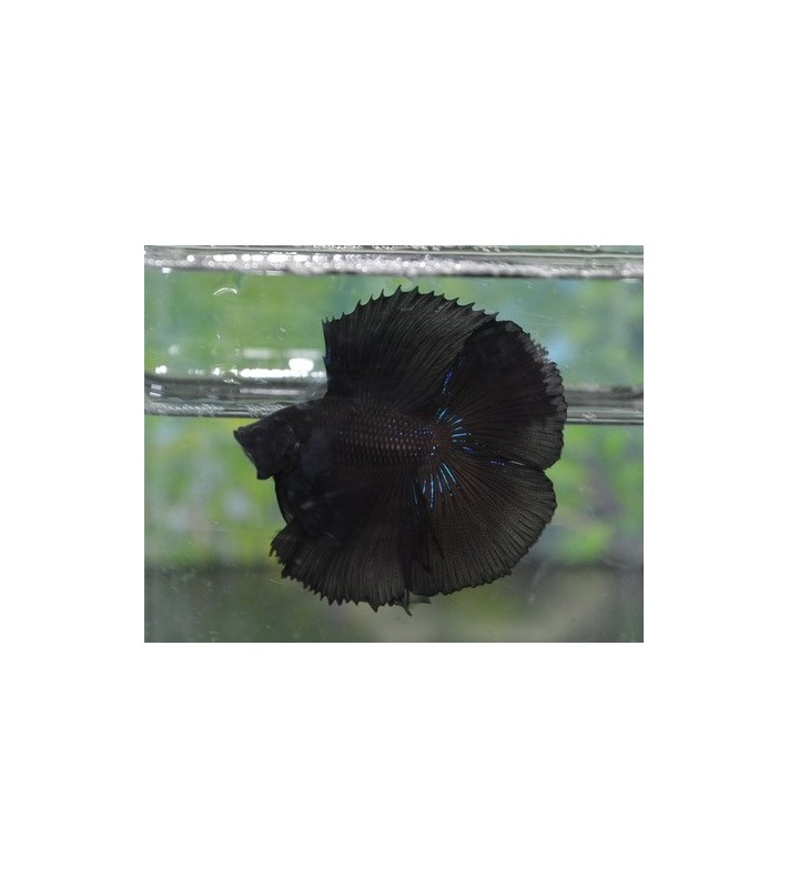 Betta splendens Black double tail