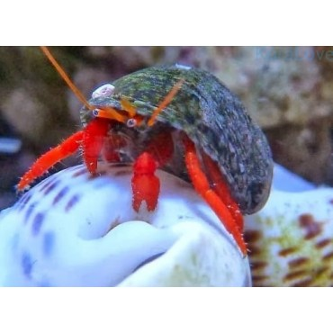 Clibanarius sp. (red leg) Indonesia