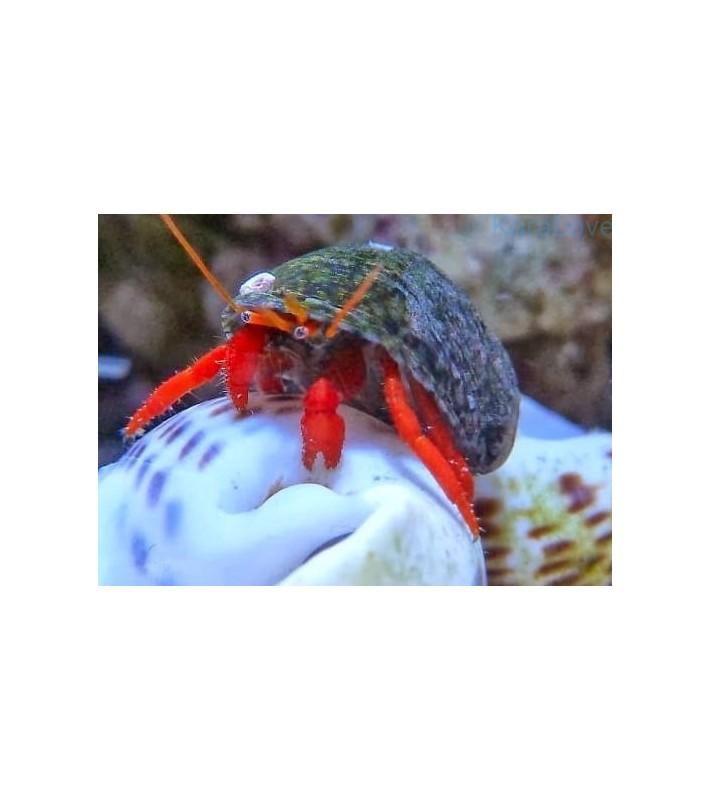 Clibanarius sp. (red leg) Indonesia