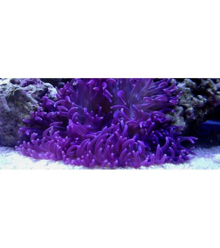 Macrodactyla doreensis purple
