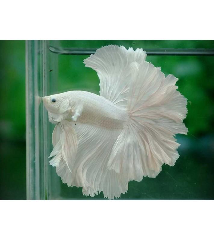Betta splendens Double Tail White