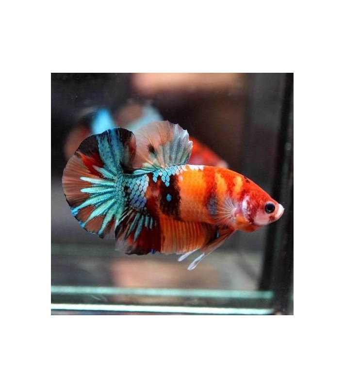 Betta splendens Nemo HMPK pair