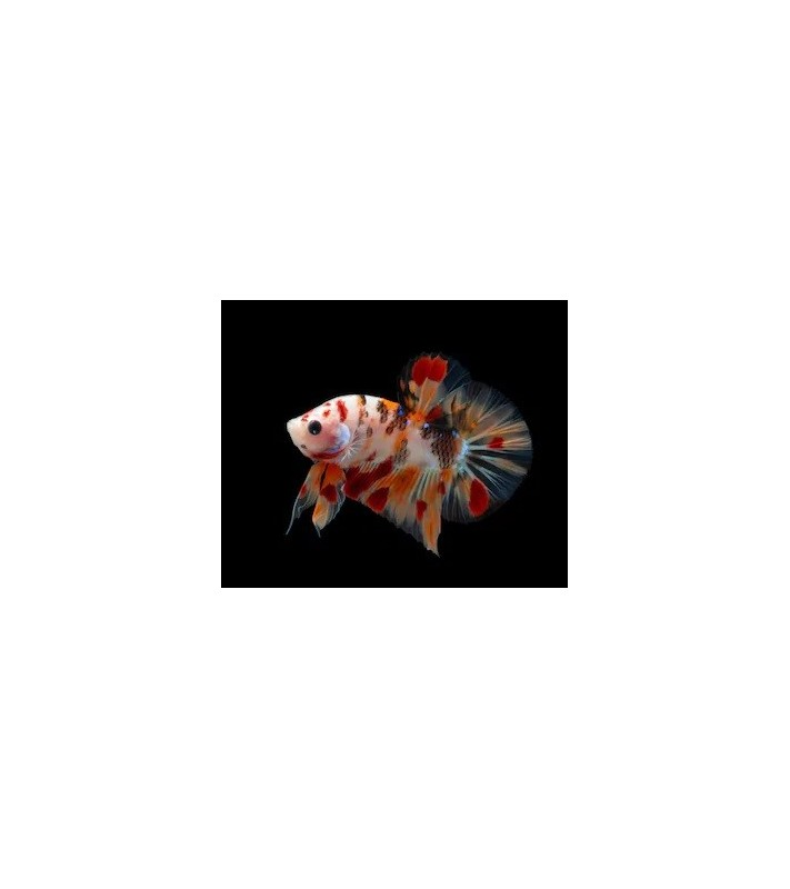 Betta splendens Candy HMPK pair