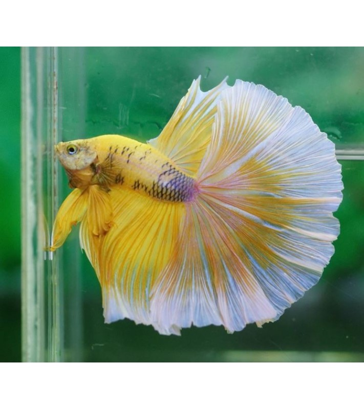 Betta splendens superdelta Yellow Blue
