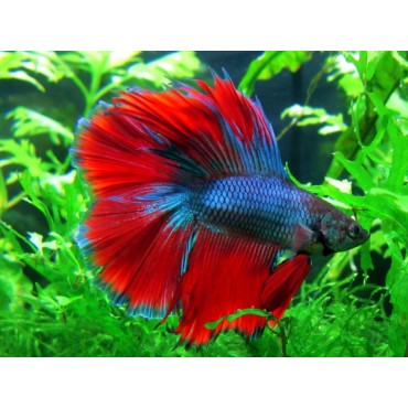 Betta splendens double tail blue red