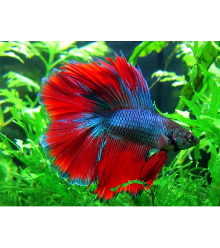 Betta splendens double tail blue red