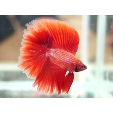Betta splendens halfmoon double tail red
