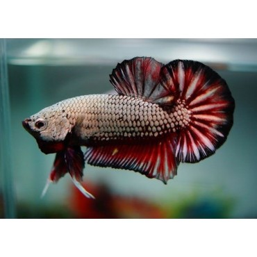 Betta splendens Copper Black Red Dragon HMPK