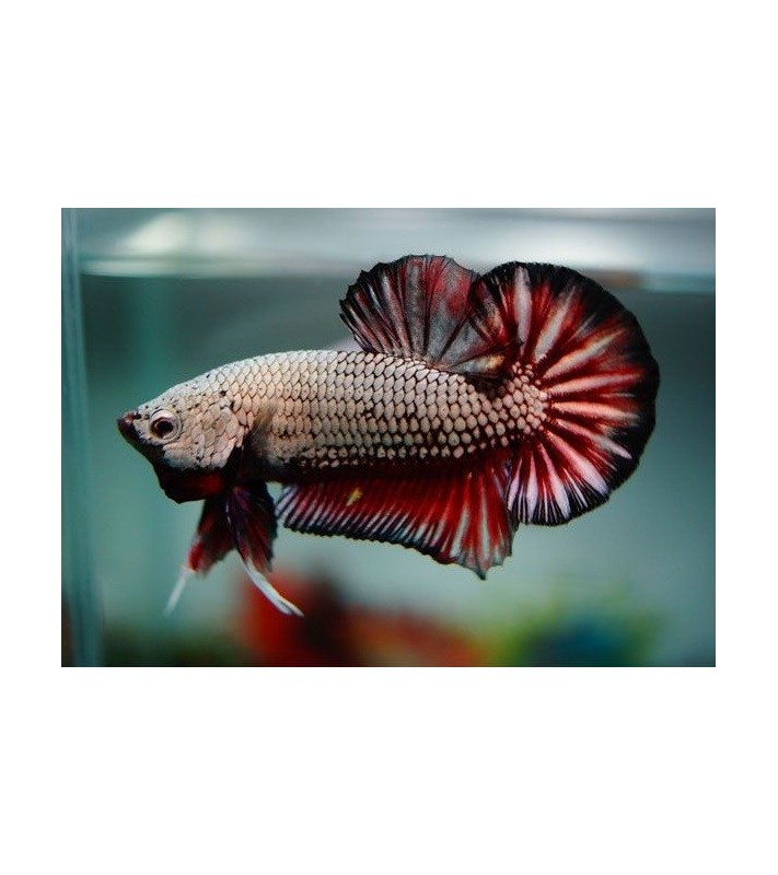 Betta splendens Copper Black Red Dragon HMKP