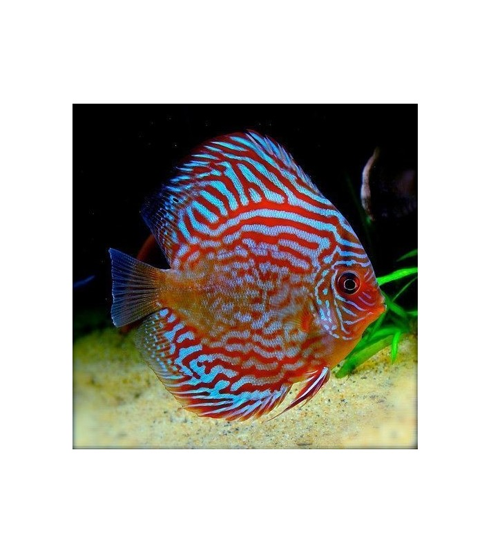 Symphysodon discus Red Turquoise