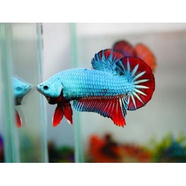 Betta splendens Red Blue Dragon HMPK