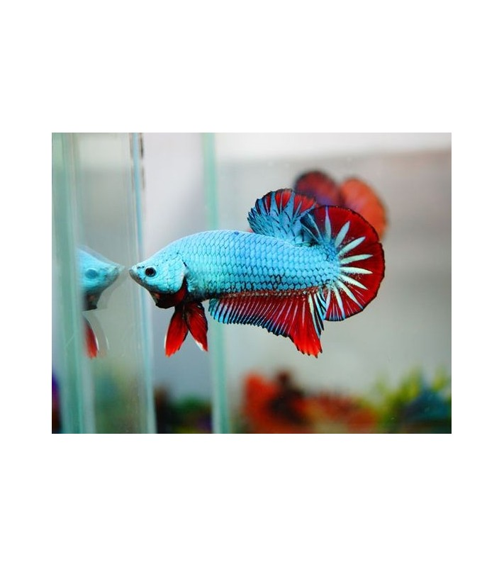 Betta splendens Red Blue Dragon HMPK
