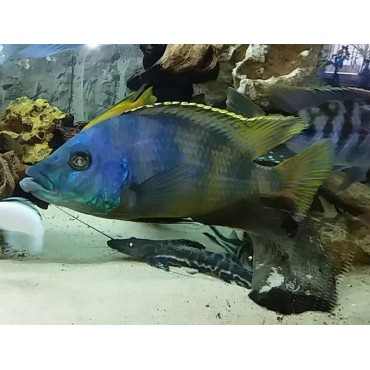 Placidochromis milomo Chinyankwazi yellow