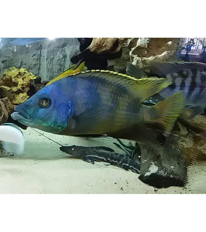 Placidochromis milomo Chinyankwazi yellow