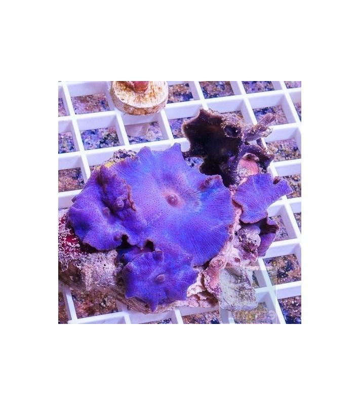 Discosoma sp. ultra violet