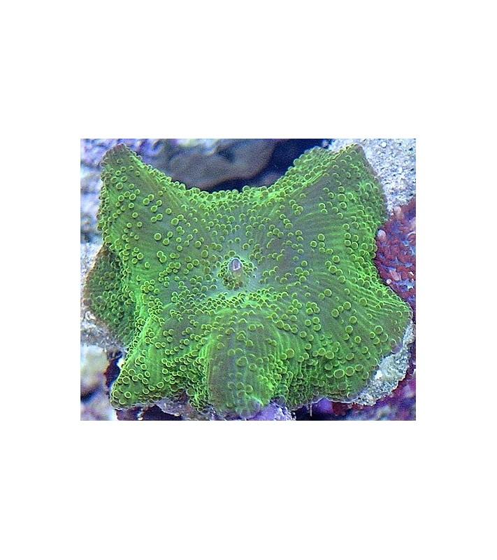 Discosoma sp. green