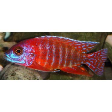 Aulonocara sp. Rubin Red