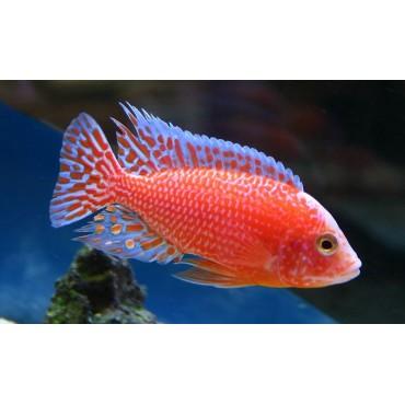Aulonocara sp. Fire Fish S