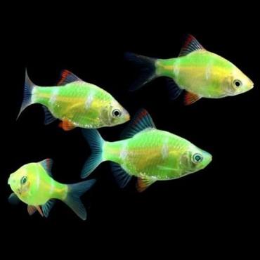 Puntius tetrazona starfire neon