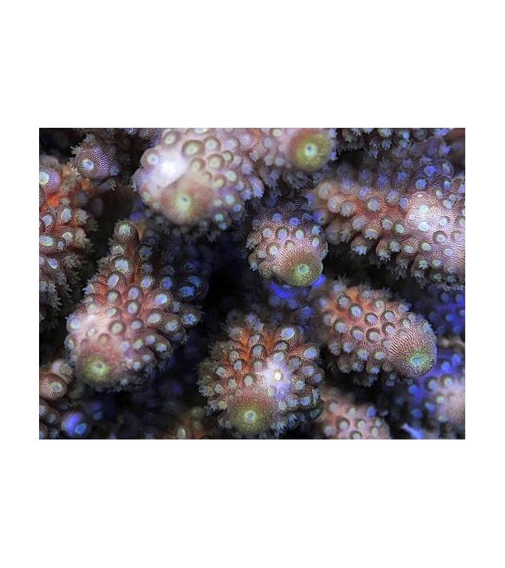 Acropora humilis B