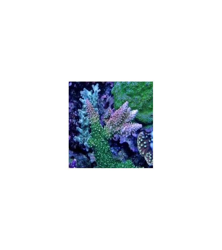 Acropora abrotanoides A