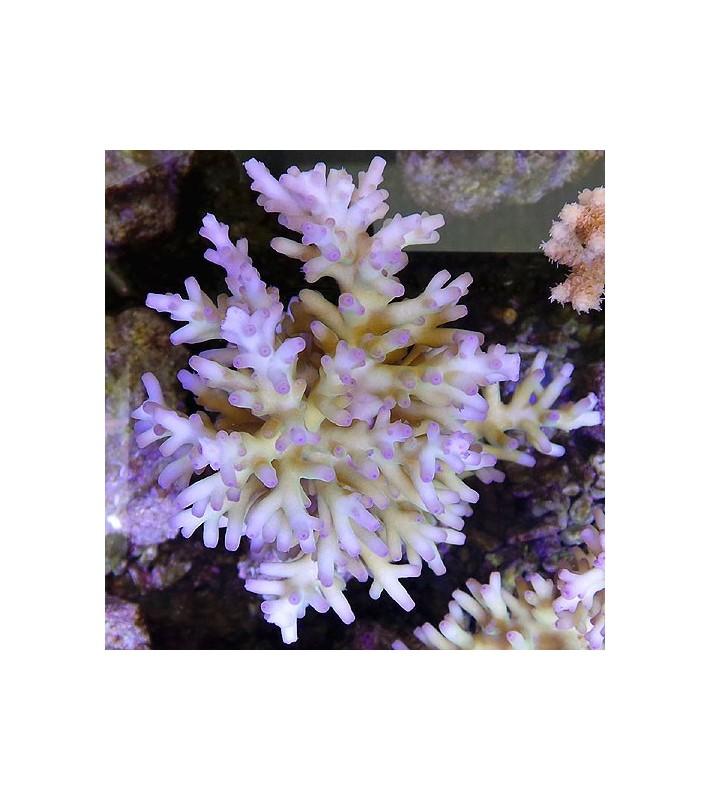 Acropora carduus B