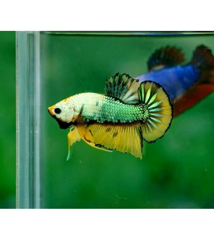 Betta splendens plakat Fancy green yellow