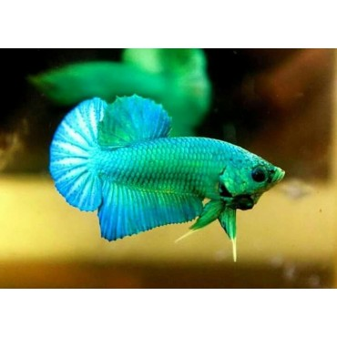 Betta splendens plakat Fancy green