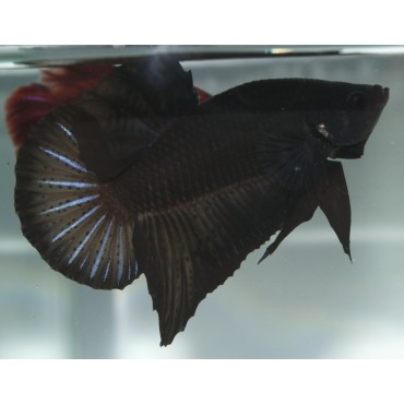 Betta splendens plakat Fancy blue orange