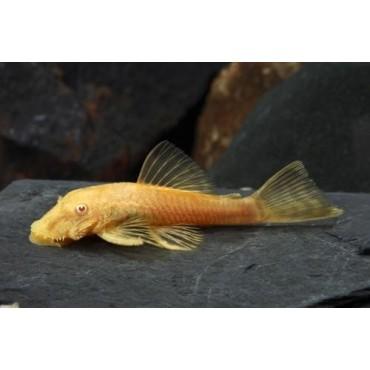Ancistrus dolichopterus albino r. br.
