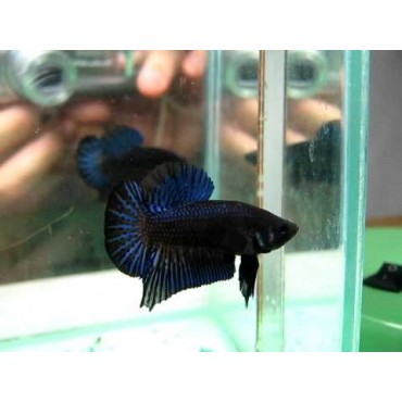 Betta splendens HMPK blue black lace