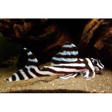 Hypancistrus sp. Zebra
