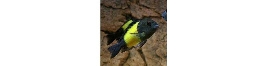 Tropheus & Petrochromis