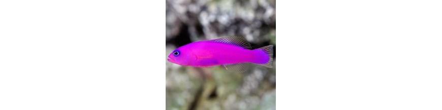 Pseudochromidae