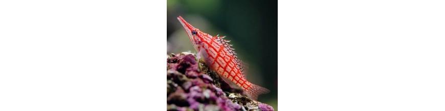 Cirrhitidae