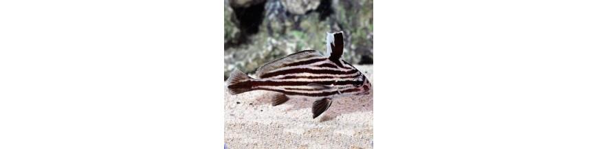 Sciaenidae