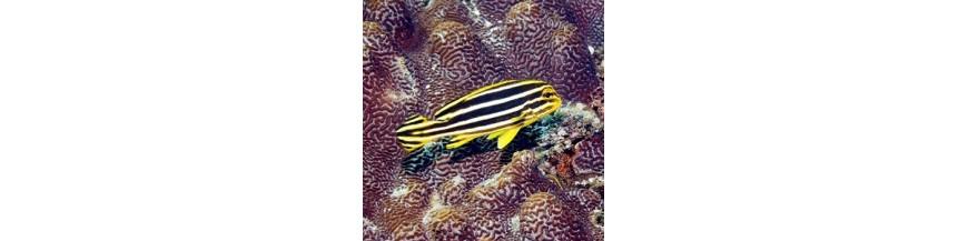 Plectorynchidae