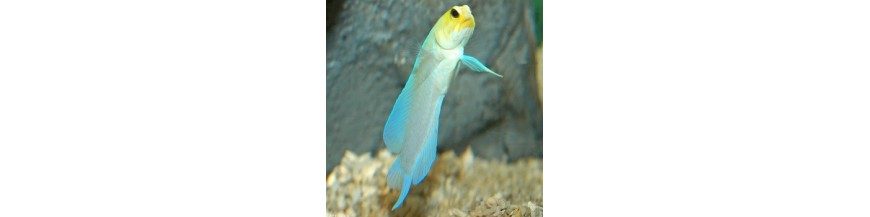 Opistognathidae