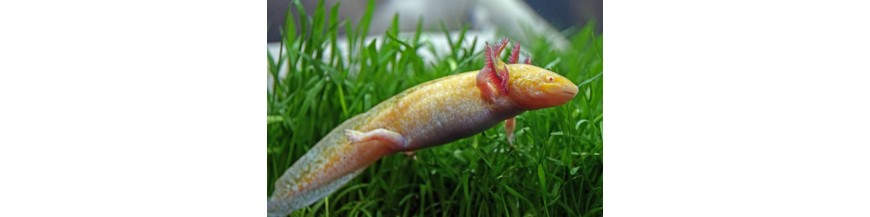 Salamandre si Tritoni